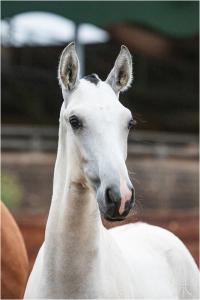 Photo cheval a vendre QUOVADIS DE LA GESSE